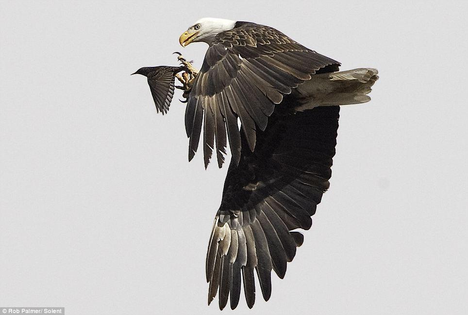 Охота белоголового орлана