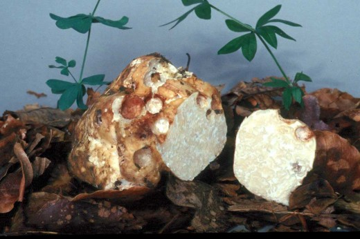 Бесовские грибы трюфели