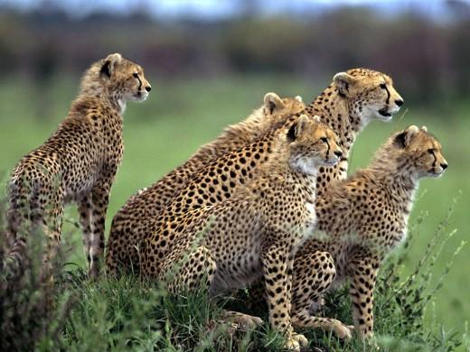 Сафари: здесь нет тоски в глазах льва
