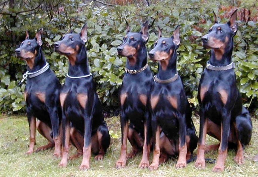 добермана фото собака злого