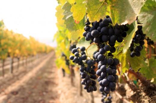 Биологические особенности земли подходящей под посадку виноградника