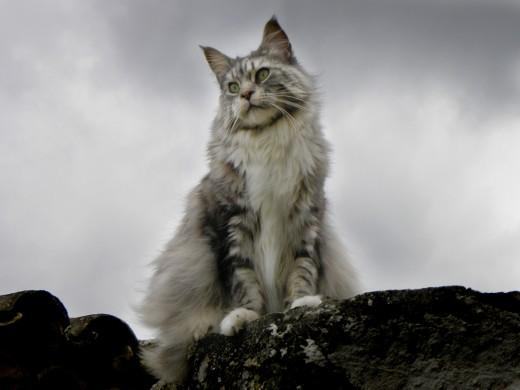 Самые крупные породы кошек