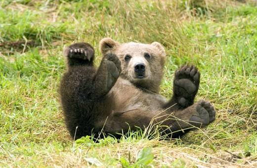 Медвежья желчь: как ее правильно принимать