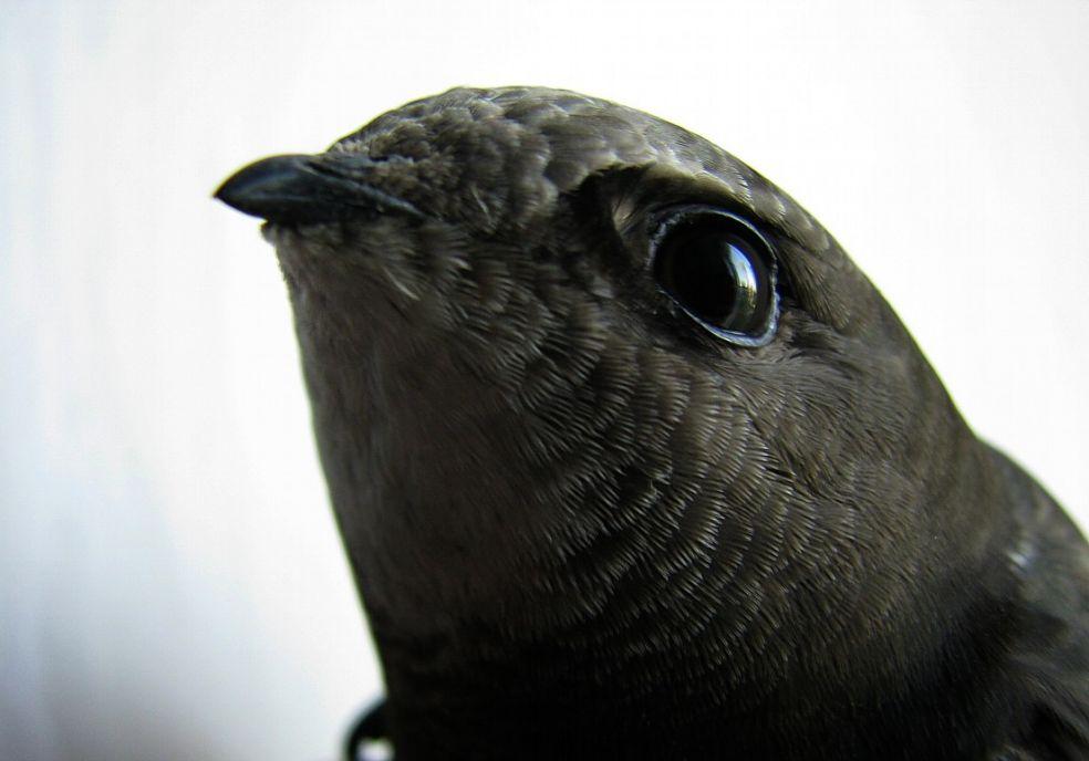 Интересные факты про черных стрижей