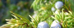 Особенности выращивания можжевельника