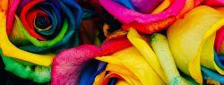 Из Голландии с любовью: как радужные розы завоевали весь мир