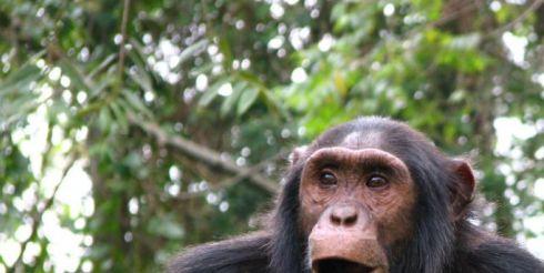 Самки шимпанзе часами сидят у телевизора, пока самцы добывают пропитание.