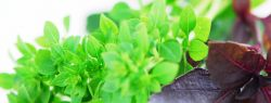 Базилик: лето зеленого цвета