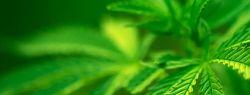 Ученые: марихуана улучшает работу легких
