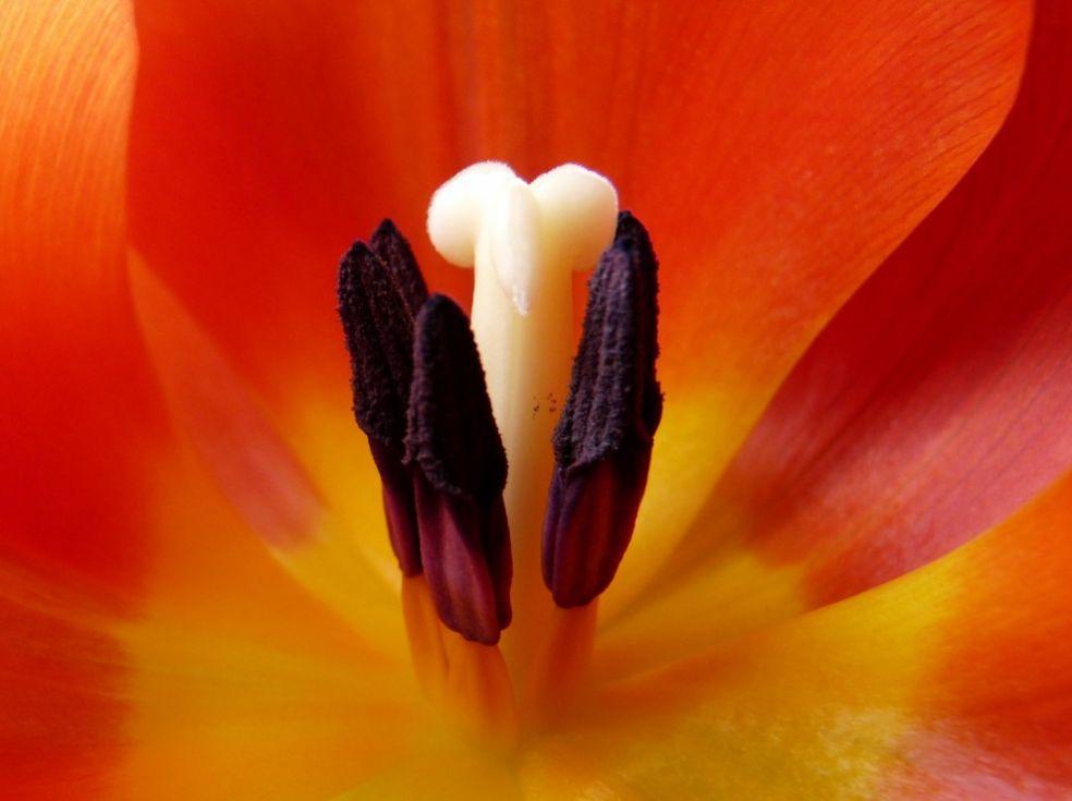 Тюльпаны дороже золота