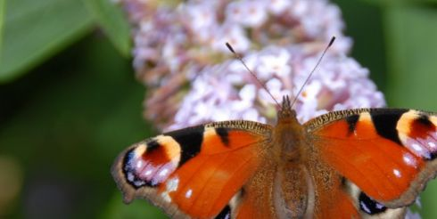 Бабочки — живые цветы