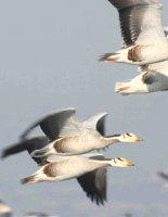 Горные гуси  — самые высоко летающие птицы